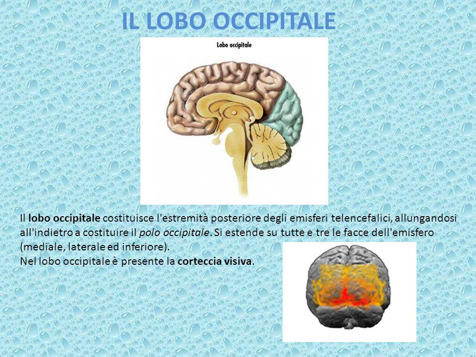 IL LOBO OCCIPITALE Il lobo occipitale costituisce l'estremità posteriore degli emisferi telencefalici, allungandosi all'indietro a costituire il polo