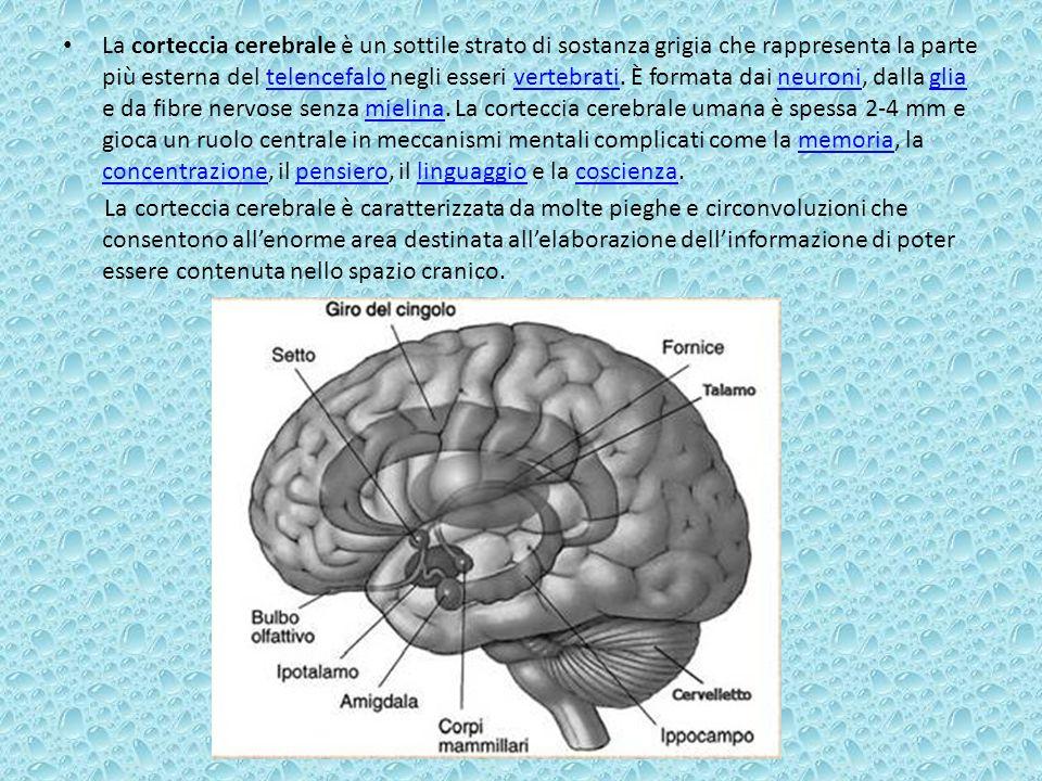 La corteccia cerebrale è un sottile strato di sostanza grigia che rappresenta la parte più esterna del telencefalo negli esseri vertebrati. È formata