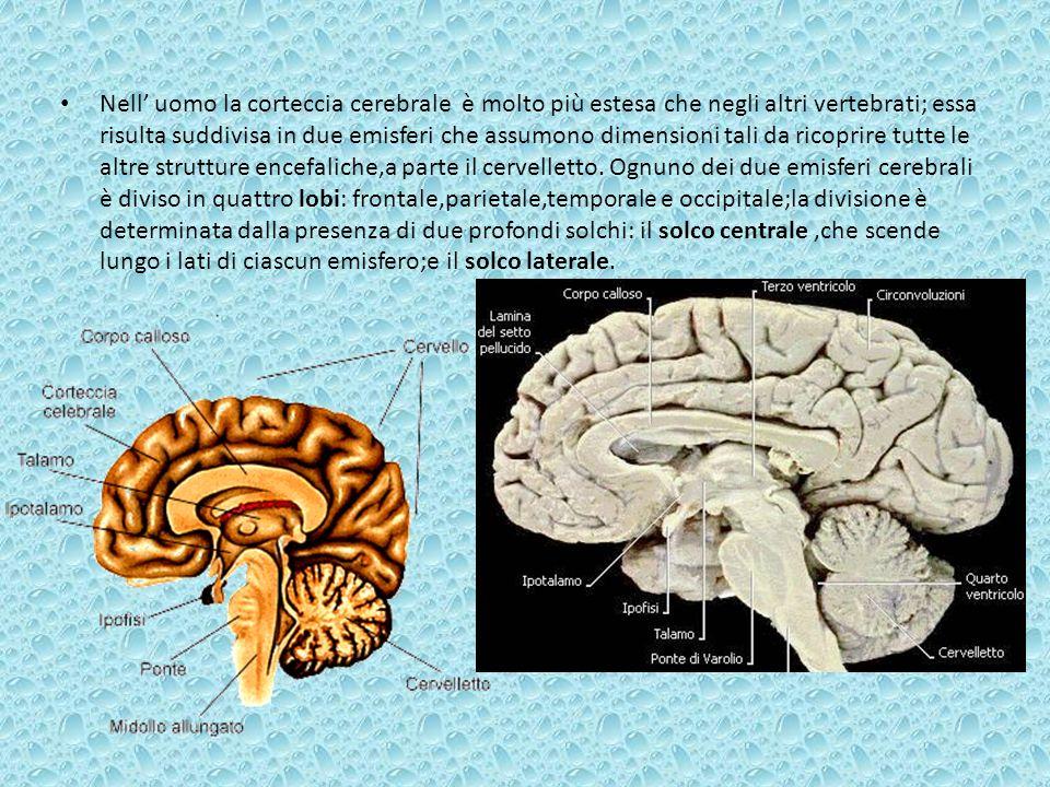 Nell uomo la corteccia cerebrale è molto più estesa che negli altri vertebrati; essa risulta suddivisa in due emisferi che assumono dimensioni tali da