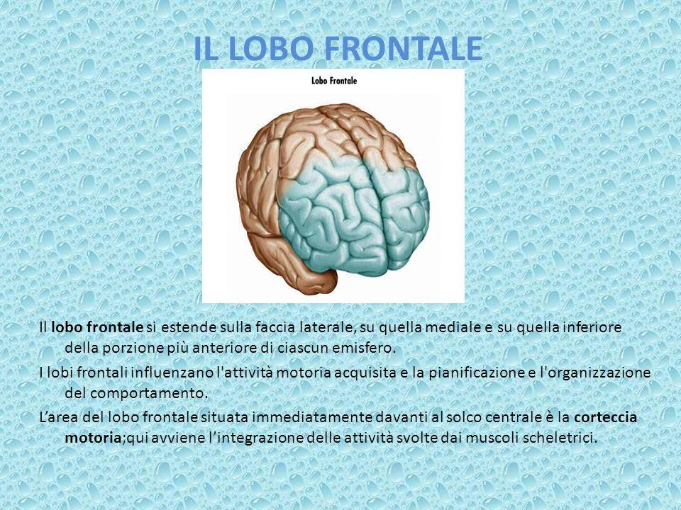 IL LOBO FRONTALE Il lobo frontale si estende sulla faccia laterale, su quella mediale e su quella inferiore della porzione più anteriore di ciascun em