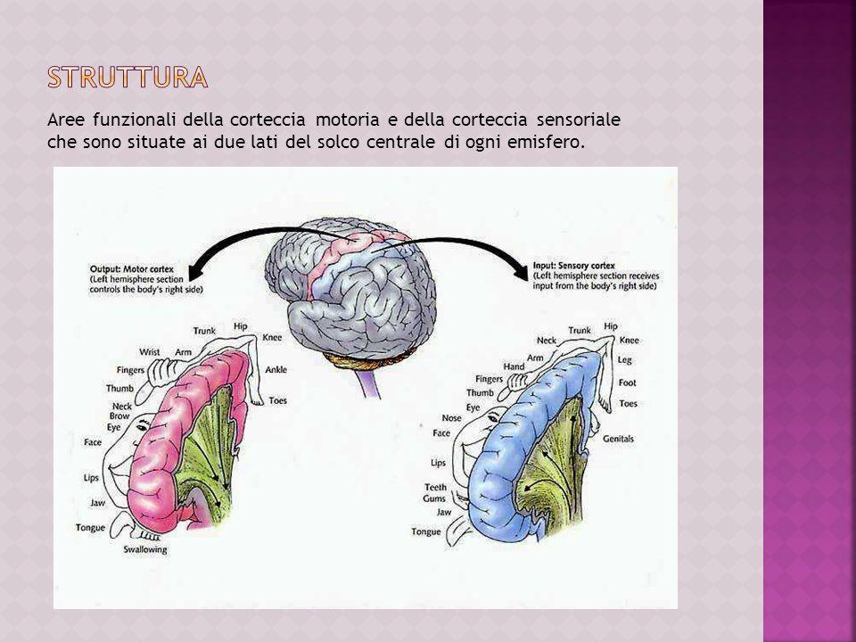 Aree funzionali della corteccia motoria e della corteccia sensoriale che sono situate ai due lati del solco centrale di ogni emisfero.