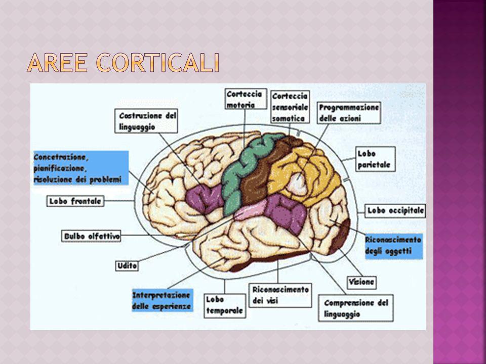 Il cervello è diviso in due distinti emisferi, collegati tra loro dal corpo calloso.