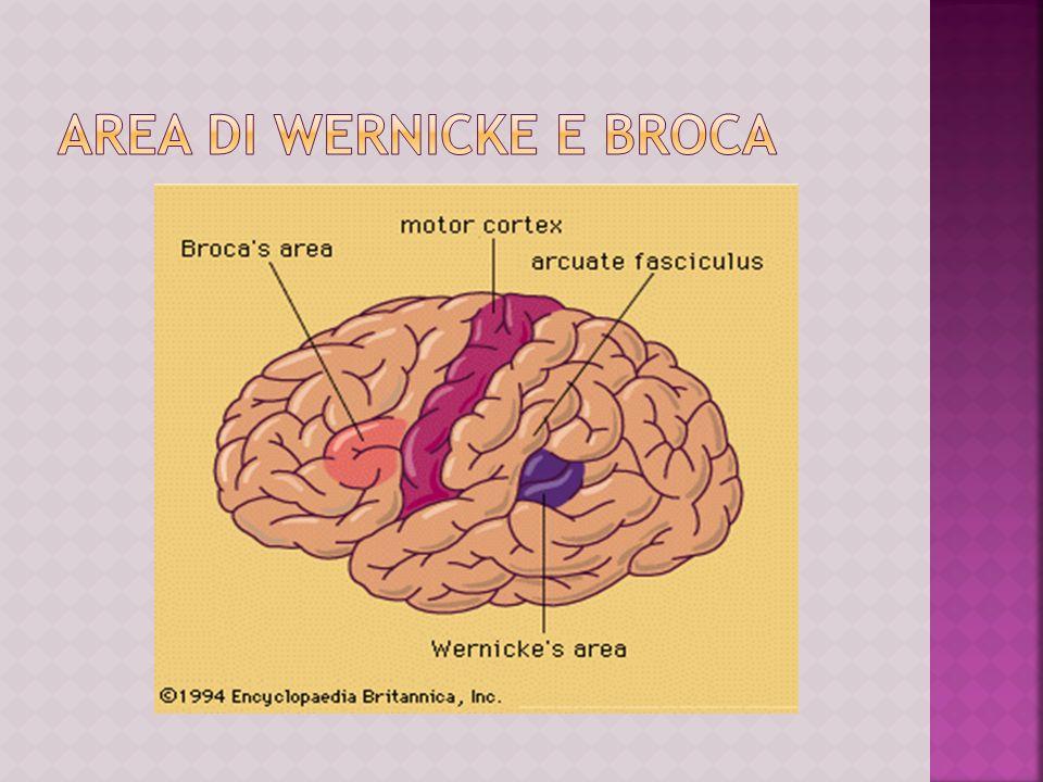 Lemisfero sinistro regola la funzione linguistica ed è suddiviso in aree che formano lasse del linguaggio e sono connesse tra di loro.