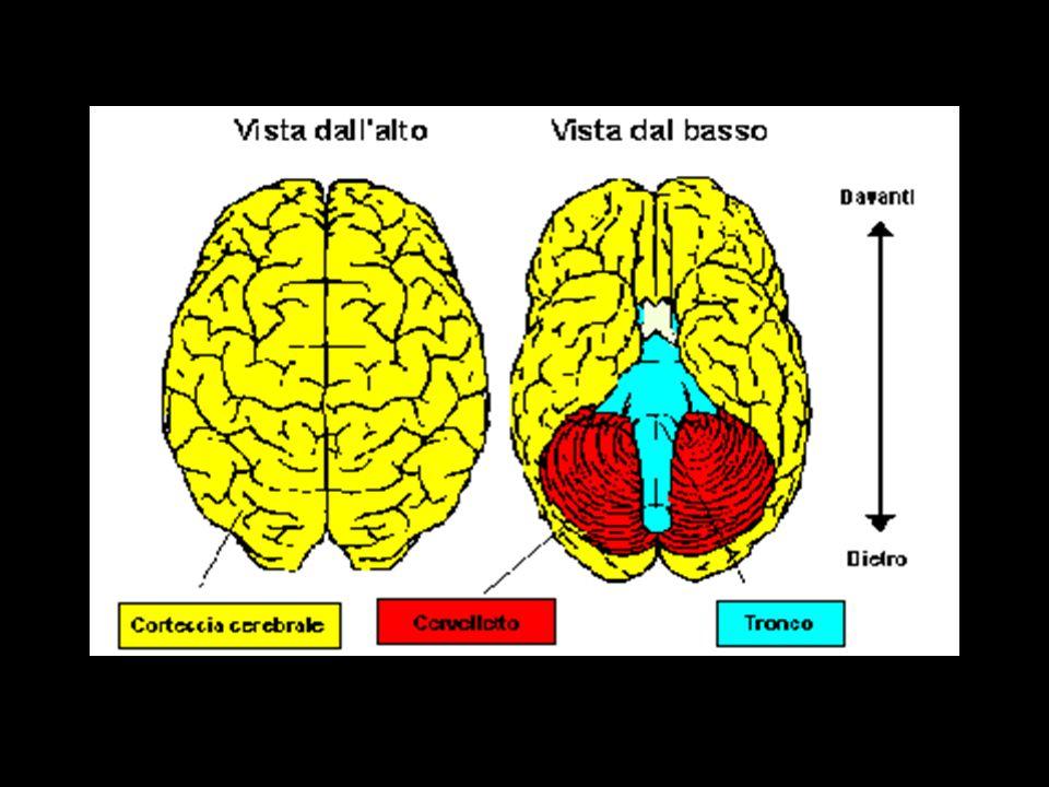 Linguaggio ed area di Wernicke Lemisfero sinistro regola la funzione linguistica ed è suddiviso in aree che formano lasse del linguaggio e sono connesse tra di loro.