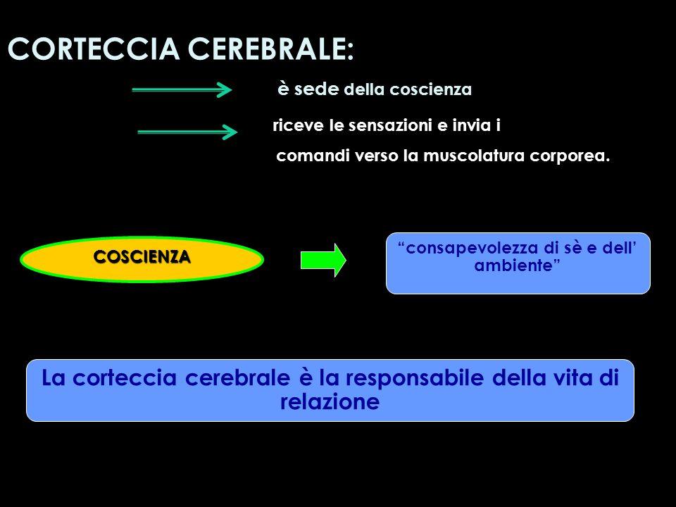 COSCIENZA consapevolezza di sè e dell ambiente CORTECCIA CEREBRALE: è sede della coscienza riceve le sensazioni e invia i comandi verso la muscolatura