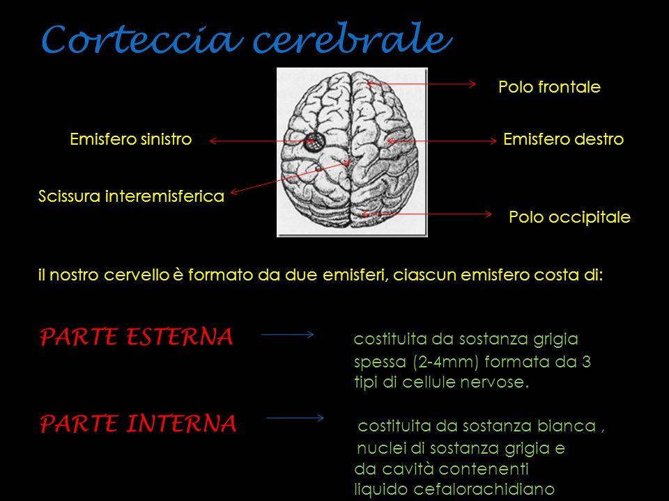 le cellule nervose della corteccia vengono distinte in base alla forma: Cellule piramidali.