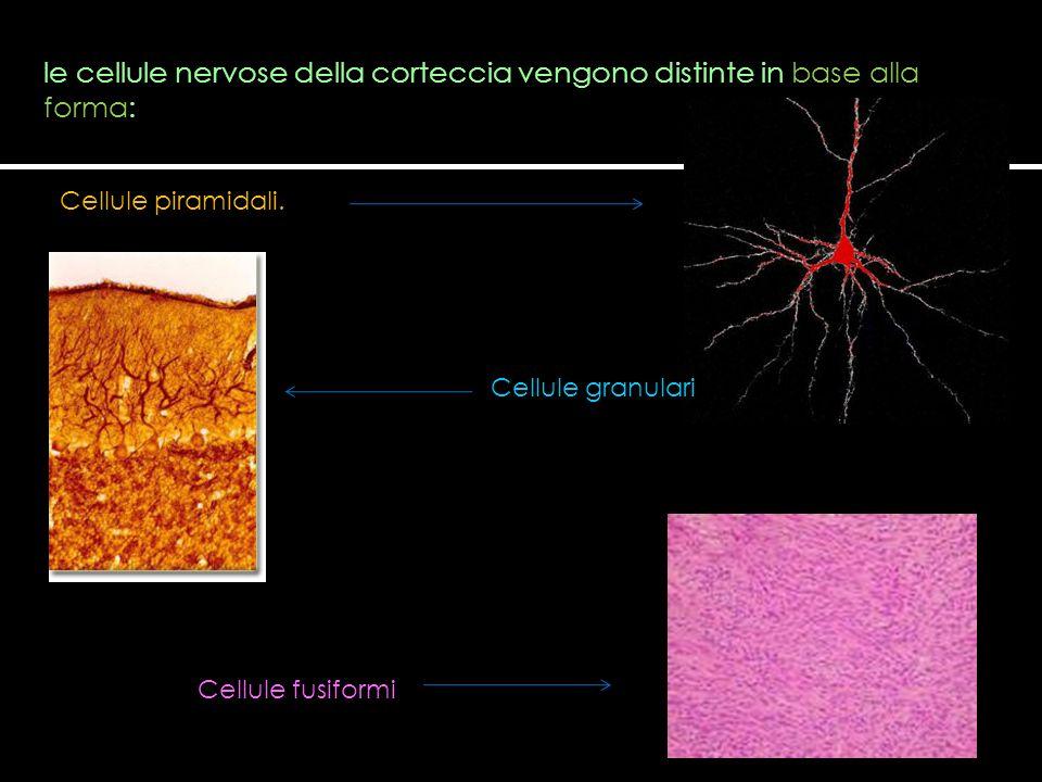 le cellule nervose della corteccia vengono distinte in base alla forma: Cellule piramidali. Cellule granulari Cellule fusiformi