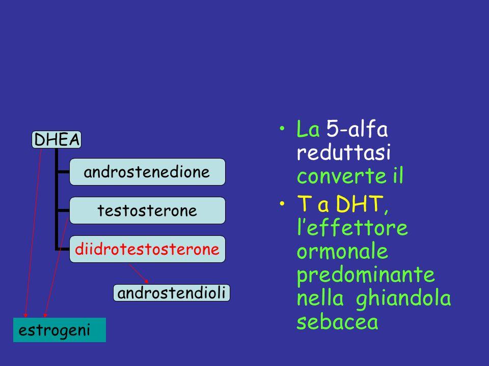 La 5-alfa reduttasi converte il T a DHT, leffettore ormonale predominante nella ghiandola sebacea androstendioli estrogeni