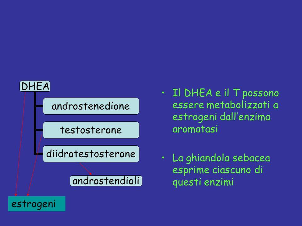 Il DHEA e il T possono essere metabolizzati a estrogeni dallenzima aromatasi La ghiandola sebacea esprime ciascuno di questi enzimi androstendioli estrogeni