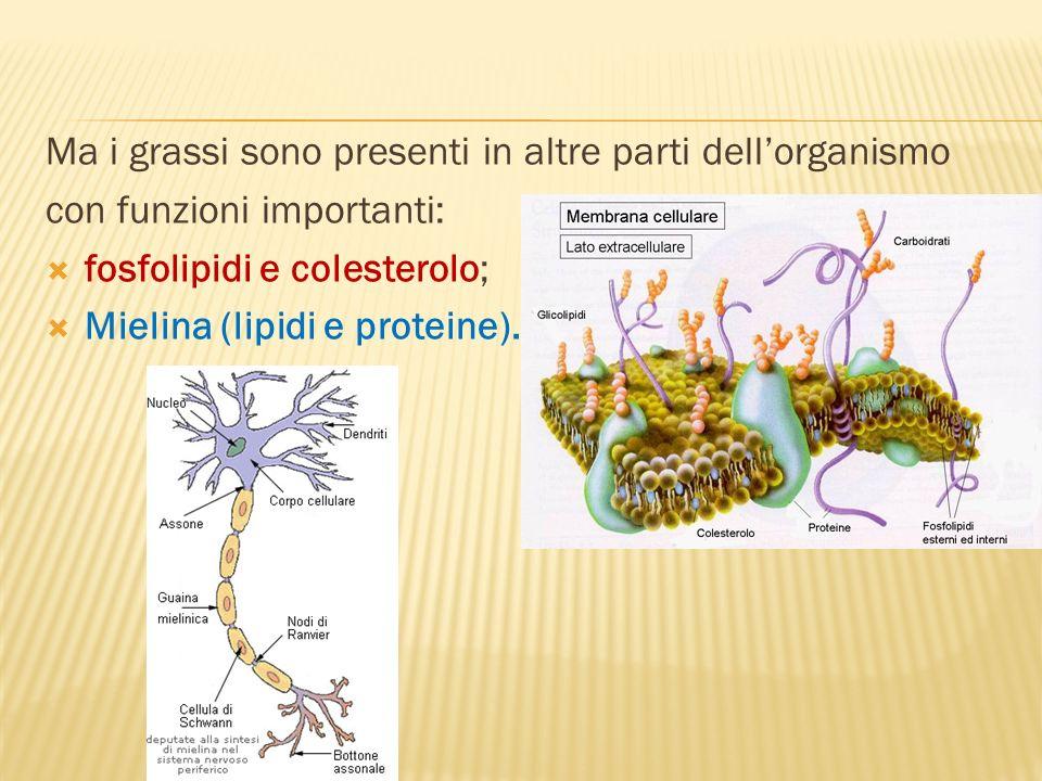 Ma i grassi sono presenti in altre parti dellorganismo con funzioni importanti: fosfolipidi e colesterolo; Mielina (lipidi e proteine).
