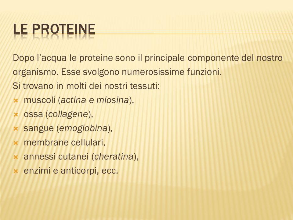 Dopo lacqua le proteine sono il principale componente del nostro organismo. Esse svolgono numerosissime funzioni. Si trovano in molti dei nostri tessu