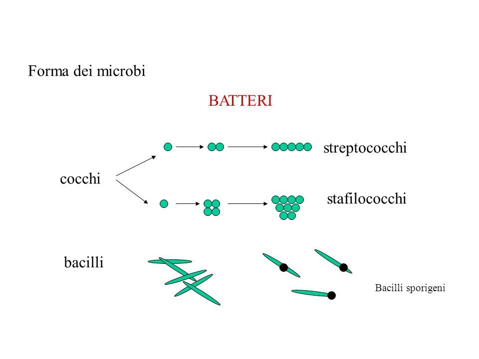LIEVITI MUFFE Sono rotondeggianti, più grossi dei batteri 10 circa Cellule EUCARIOTE Microbi filamentosi Eucarioti pluricellulari