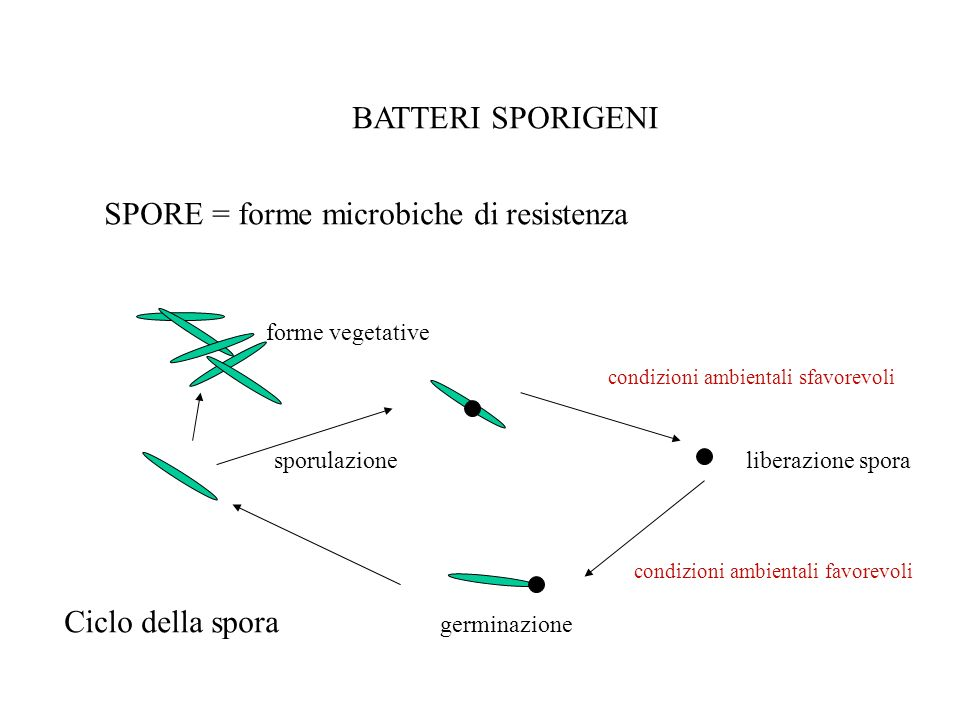 Batteri sporigeni spore = forme microbiche di resistenza ciclo della