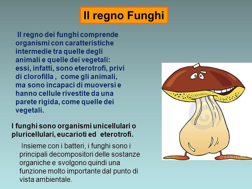 Il regno dei funghi comprende organismi con caratteristiche intermedie tra quelle degli animali e quelle dei vegetali: essi, infatti, sono eterotrofi,