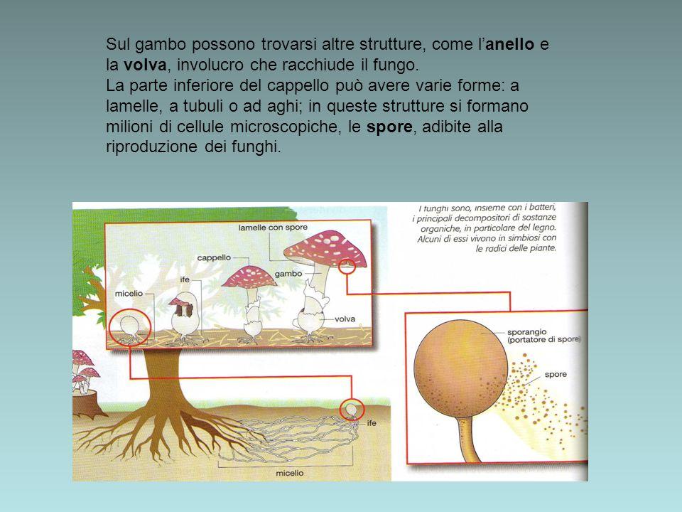 Sul gambo possono trovarsi altre strutture, come lanello e la volva, involucro che racchiude il fungo. La parte inferiore del cappello può avere varie