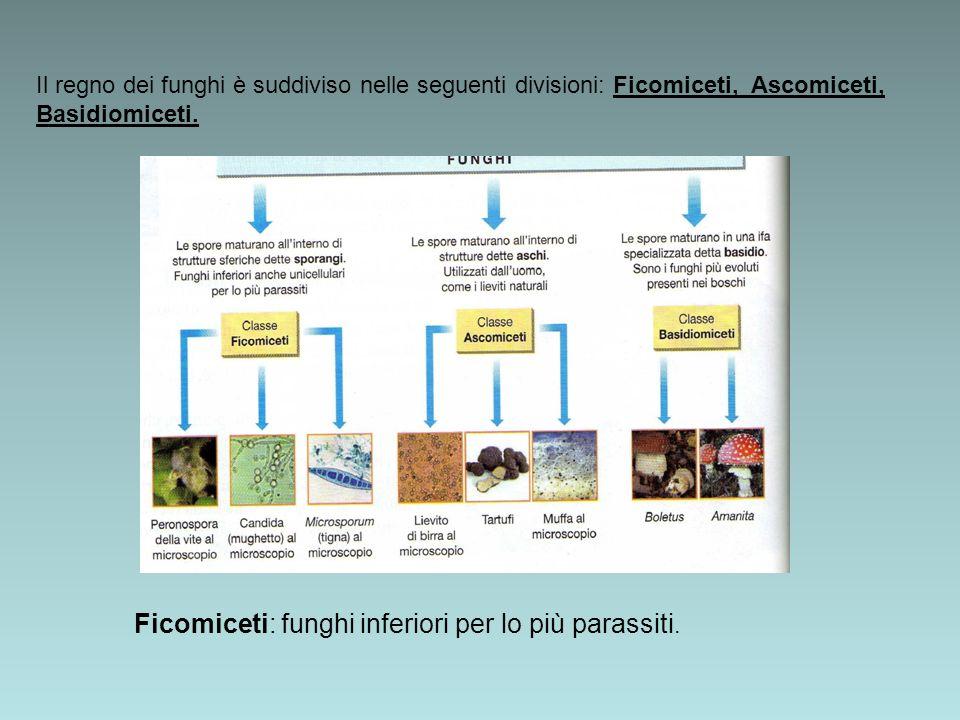 Il regno dei funghi è suddiviso nelle seguenti divisioni: Ficomiceti, Ascomiceti, Basidiomiceti. Ficomiceti: funghi inferiori per lo più parassiti.