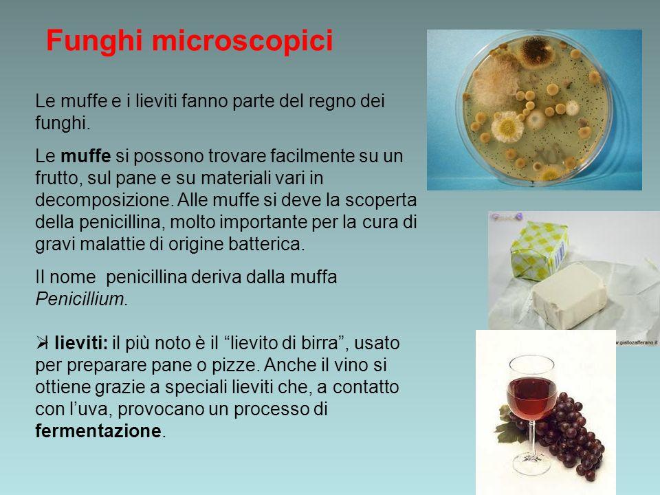 Funghi microscopici Le muffe e i lieviti fanno parte del regno dei funghi. Le muffe si possono trovare facilmente su un frutto, sul pane e su material