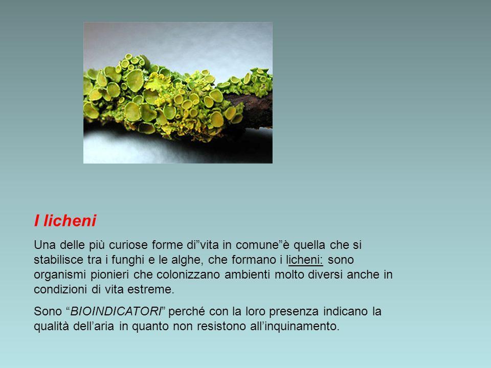 I licheni Una delle più curiose forme divita in comuneè quella che si stabilisce tra i funghi e le alghe, che formano i licheni: sono organismi pionie