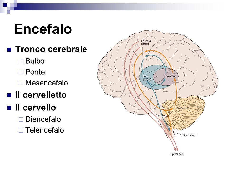 Encefalo Tronco cerebrale Bulbo Ponte Mesencefalo Il cervelletto Il cervello Diencefalo Telencefalo