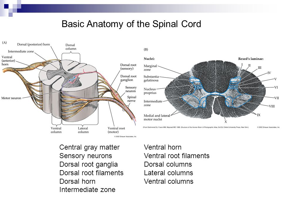 Basic Anatomy of the Spinal Cord Central gray matterVentral horn Sensory neuronsVentral root filaments Dorsal root gangliaDorsal columns Dorsal root f