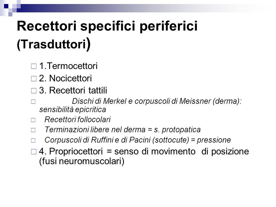Recettori specifici periferici (Trasduttori ) 1.Termocettori 2. Nocicettori 3. Recettori tattili Dischi di Merkel e corpuscoli di Meissner (derma): se