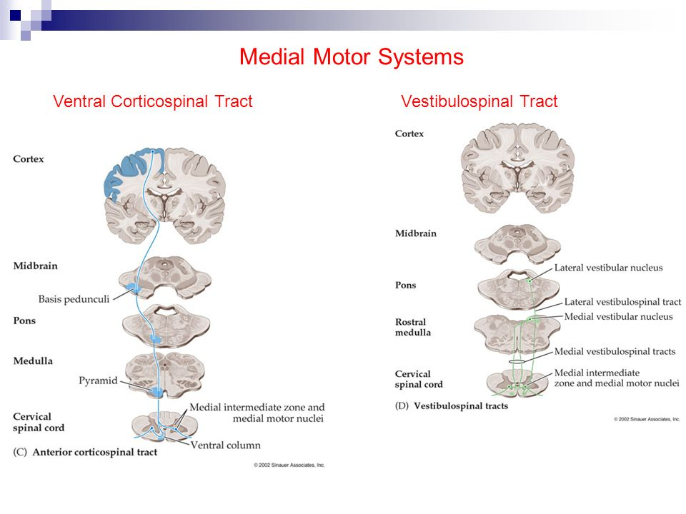 Medial Motor Systems Ventral Corticospinal Tract Vestibulospinal Tract