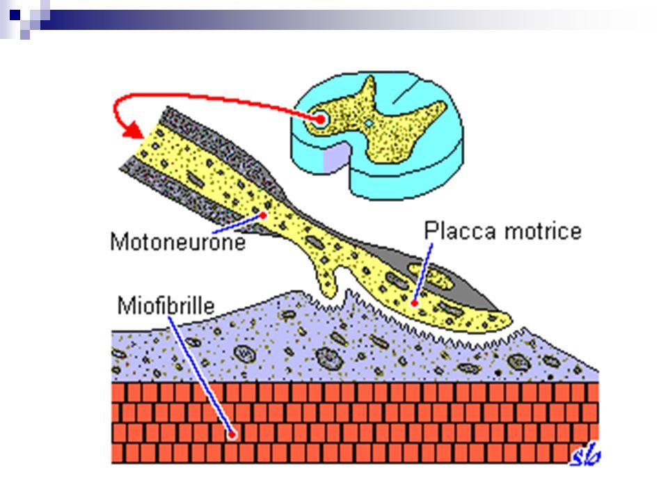 Sindrome della giunzione neuro-muscolare Dovuta al blocco dei recettori dellAch a livello della placca muscolare (Miastenia) Faticabilità muscolare Miglioramento al mattino