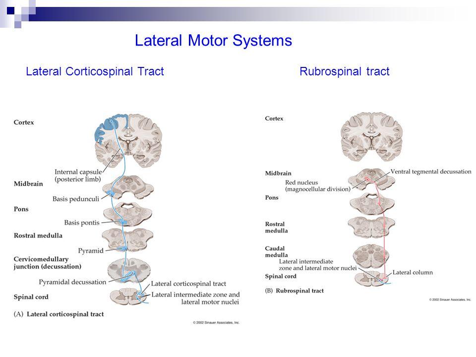 Il cervelletto Azione tonica: regola la distribuzione del tono muscolare per il mantenimento dellequilibrio.