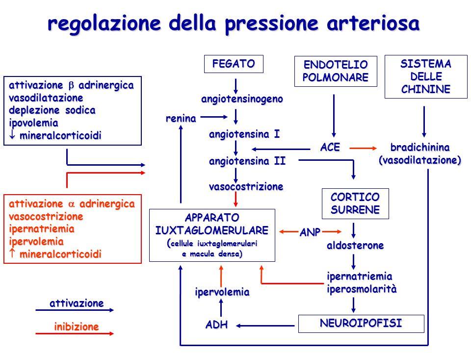 regolazione della pressione arteriosa APPARATO IUXTAGLOMERULARE ( cellule iuxtaglomerulari e macula densa) CORTICO SURRENE FEGATO ENDOTELIO POLMONARE