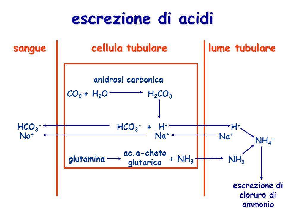 escrezione di acidi anidrasi carbonica CO 2 + H 2 OH 2 CO 3 HCO 3 - + H + Na + HCO 3 - Na + H+H+ NH 4 + glutamina+ NH 3 NH 3 sangue cellula tubulare l