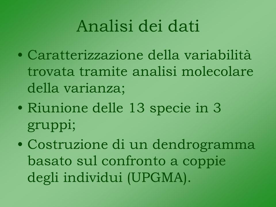 Analisi dei dati Caratterizzazione della variabilità trovata tramite analisi molecolare della varianza; Riunione delle 13 specie in 3 gruppi; Costruzione di un dendrogramma basato sul confronto a coppie degli individui (UPGMA).