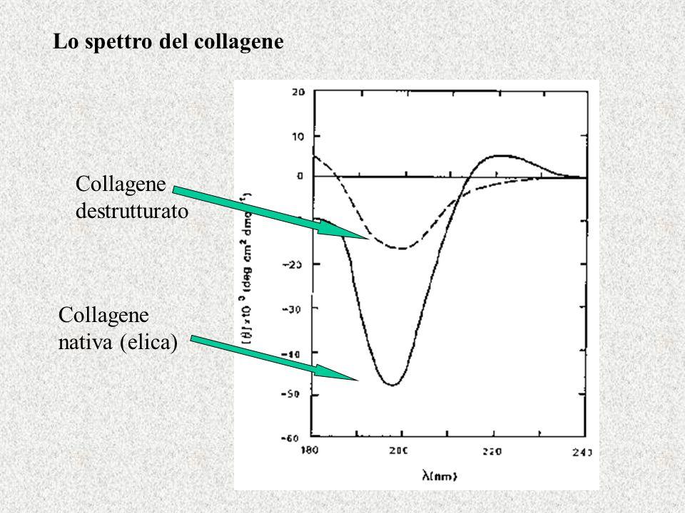 Lo spettro del collagene Collagene destrutturato Collagene nativa (elica)
