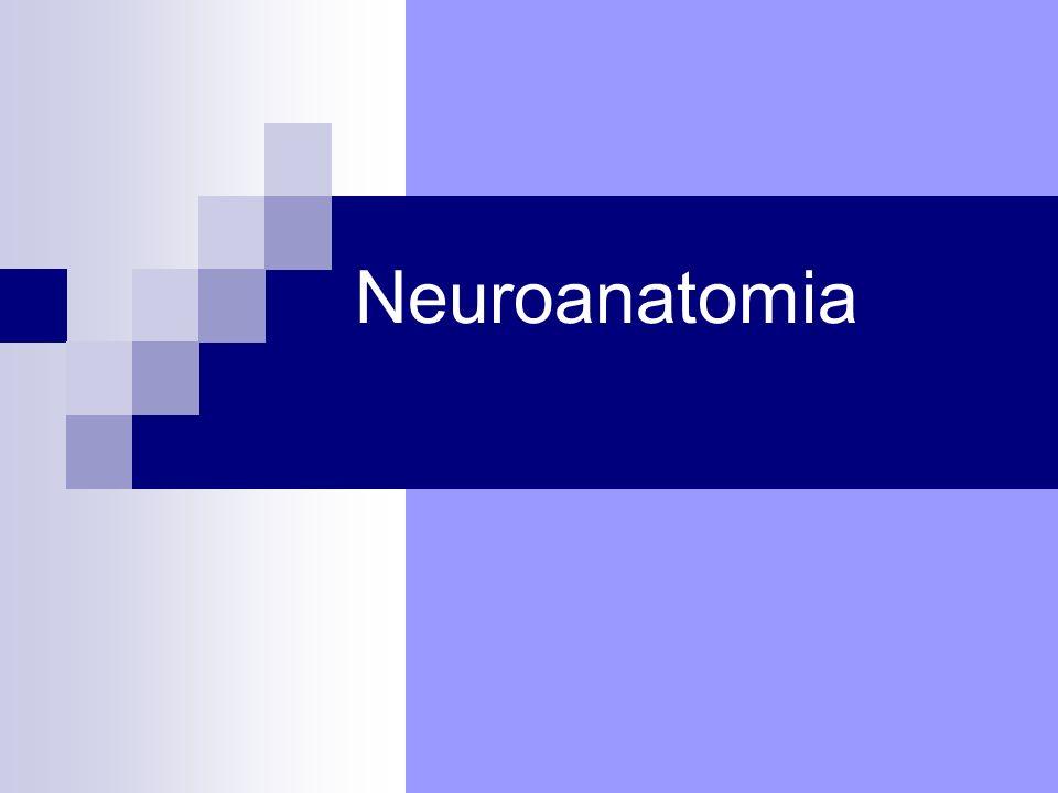 Il Sistema Nervoso Sistema Nervoso Centrale (SNC) Nevrasse: S.