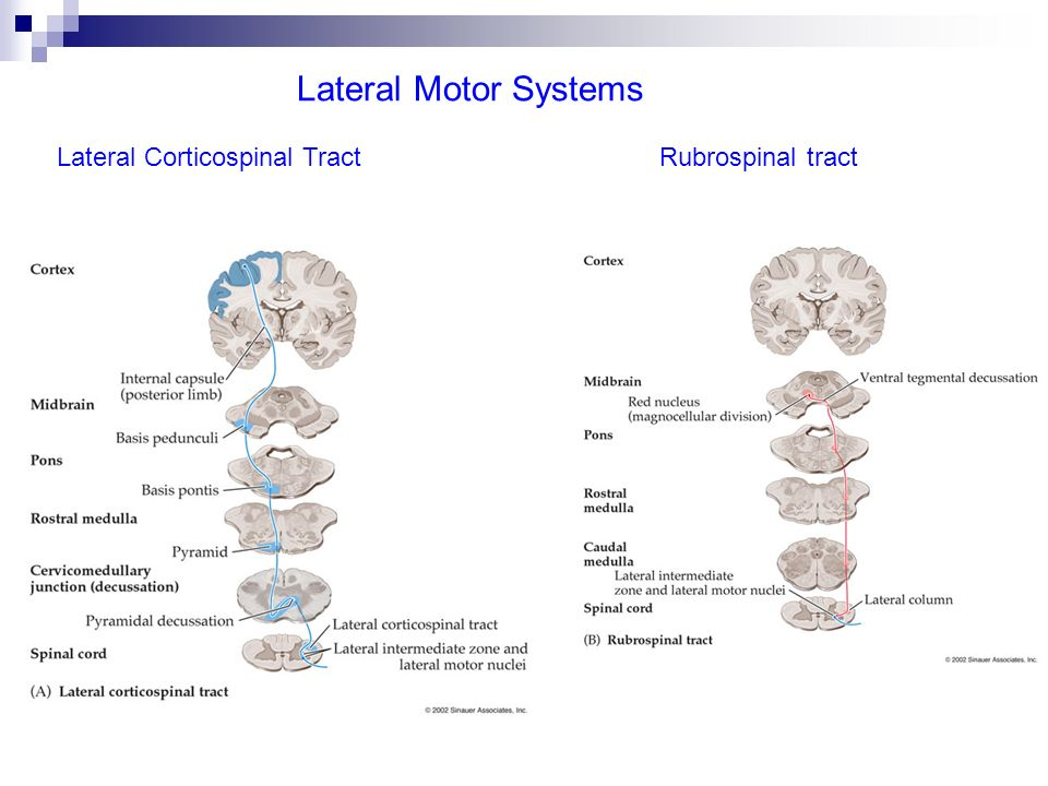 Lateral Motor Systems Lateral Corticospinal Tract Rubrospinal tract