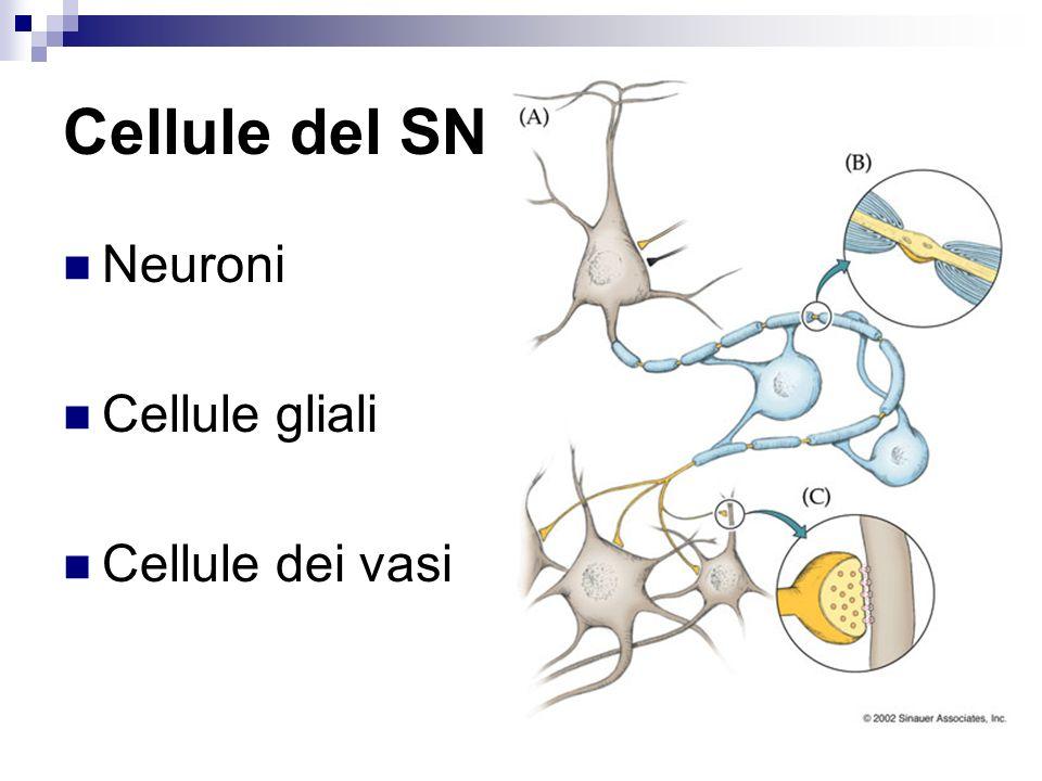 Ponte Contiene i nuclei dorigine dei seguenti nn cranici: Trigemino (V) (nucleo principale: sensitivo) Trigemino (V) ( nucleo motore o masticatorio; motore somatico) Facciale (VII) (nucleo del n facciale; motore somatico) Abducente (VI) (nucleo del n abducente: motore somatico) Nuclei vestibolari e cocleare (VIII) Nucleo salivatorio superiore (effettore viscerale) Nucleo lacrimatorio (effettore viscerale)