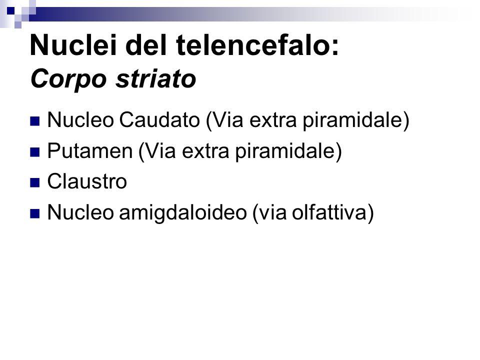 Nuclei del telencefalo: Corpo striato Nucleo Caudato (Via extra piramidale) Putamen (Via extra piramidale) Claustro Nucleo amigdaloideo (via olfattiva)