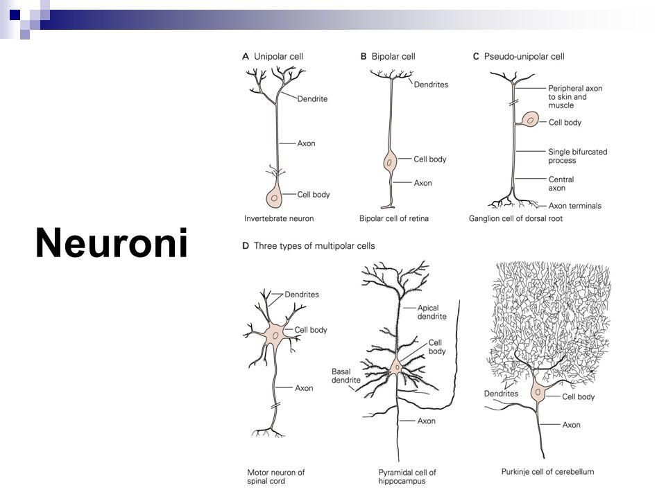 Sistema nervoso vegetativo Controllo dei visceri innervando: Muscolatura liscia Ghiandole Muscolo cardiaco
