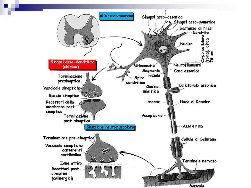 Sistema vegetativo Neuroni pregangliari (ach) (corno laterale del MS e NN tronco) Neurnoni post gangliari (gangli simpatici o nei visceri) Ortosimpatico (NA) Parasimpatico (ACh)
