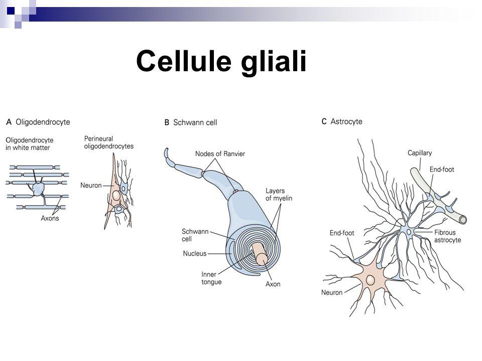 Neurotrasmettitori Glutammato GABA Acetilcolina Dopamina, Serotonina, Noradrenalina.