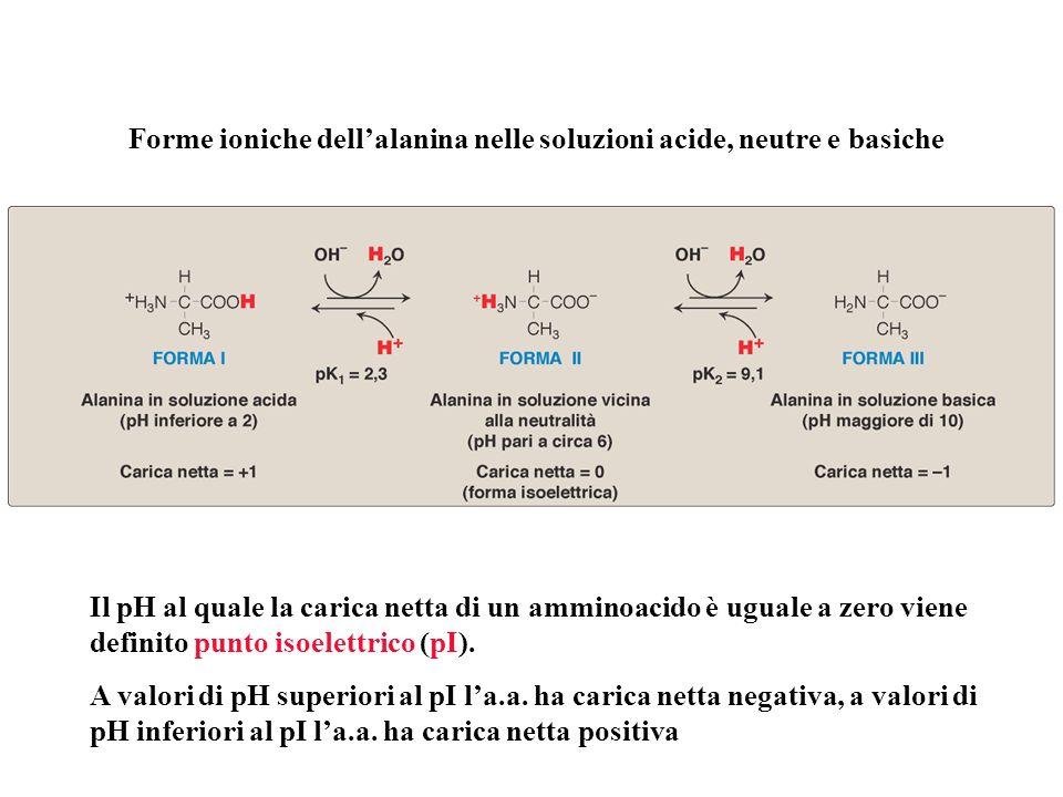 Forme ioniche dellalanina nelle soluzioni acide, neutre e basiche Il pH al quale la carica netta di un amminoacido è uguale a zero viene definito punt