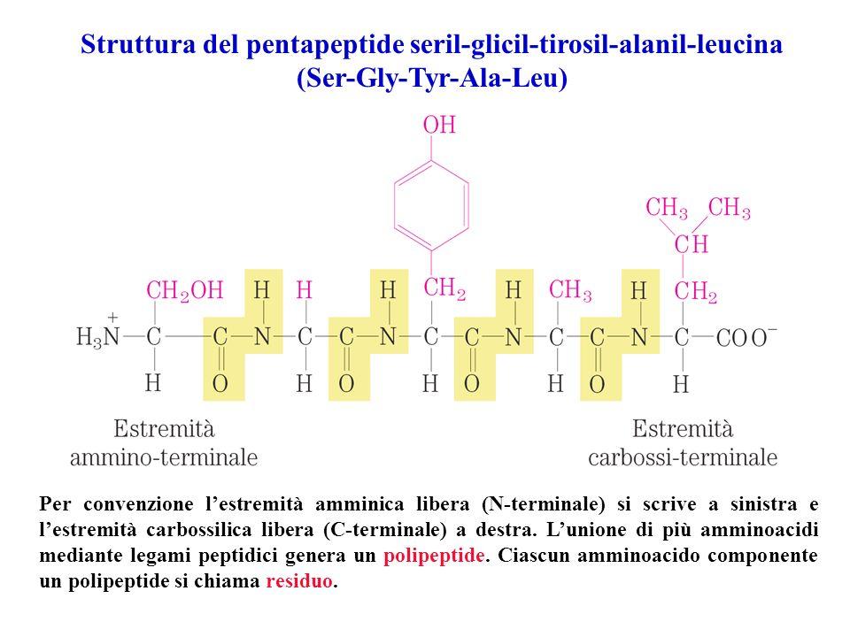 Struttura del pentapeptide seril-glicil-tirosil-alanil-leucina (Ser-Gly-Tyr-Ala-Leu) Per convenzione lestremità amminica libera (N-terminale) si scriv