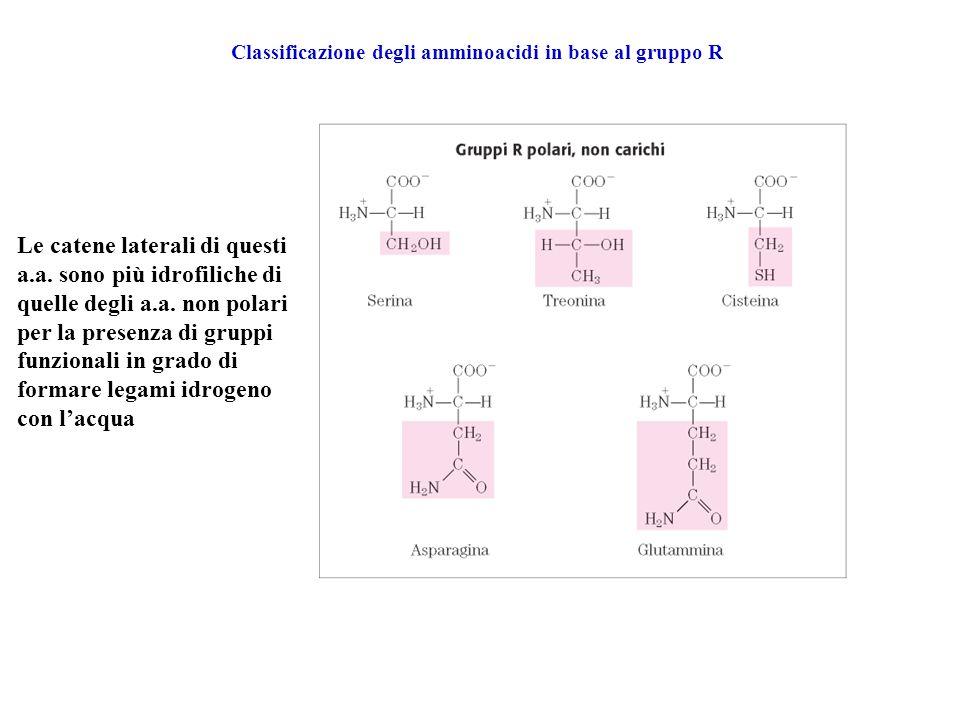 Classificazione degli amminoacidi in base al gruppo R Le catene laterali di questi a.a. sono più idrofiliche di quelle degli a.a. non polari per la pr
