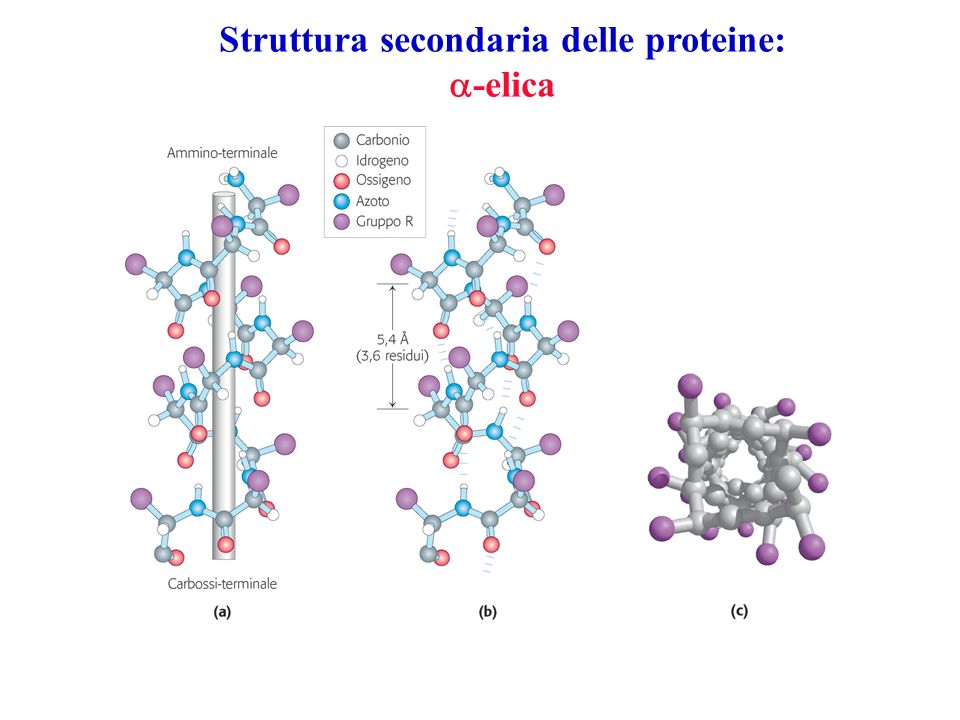 Struttura secondaria delle proteine: -elica