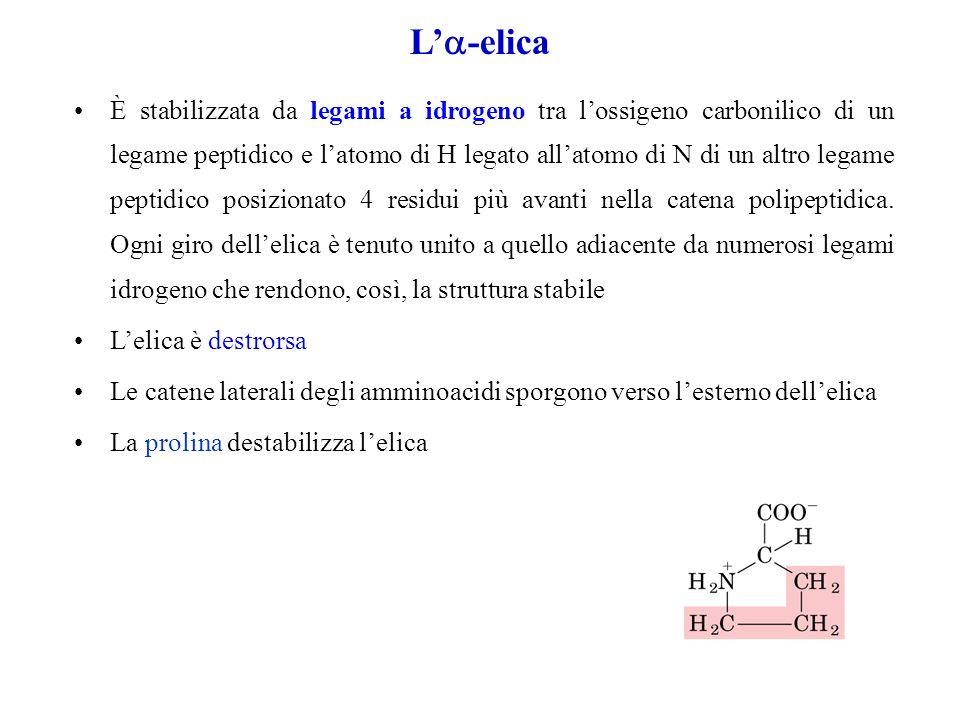 L -elica È stabilizzata da legami a idrogeno tra lossigeno carbonilico di un legame peptidico e latomo di H legato allatomo di N di un altro legame pe
