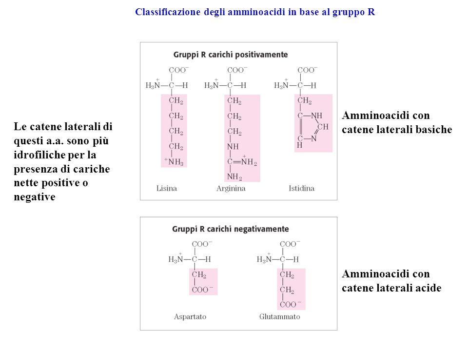 Classificazione degli amminoacidi in base al gruppo R Amminoacidi con catene laterali acide Amminoacidi con catene laterali basiche Le catene laterali