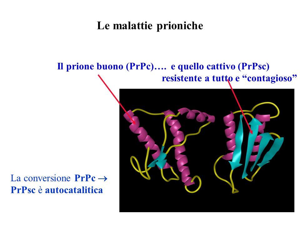 Le malattie prioniche Il prione buono (PrPc)…. e quello cattivo (PrPsc) resistente a tutto e contagioso La conversione PrPc PrPsc è autocatalitica