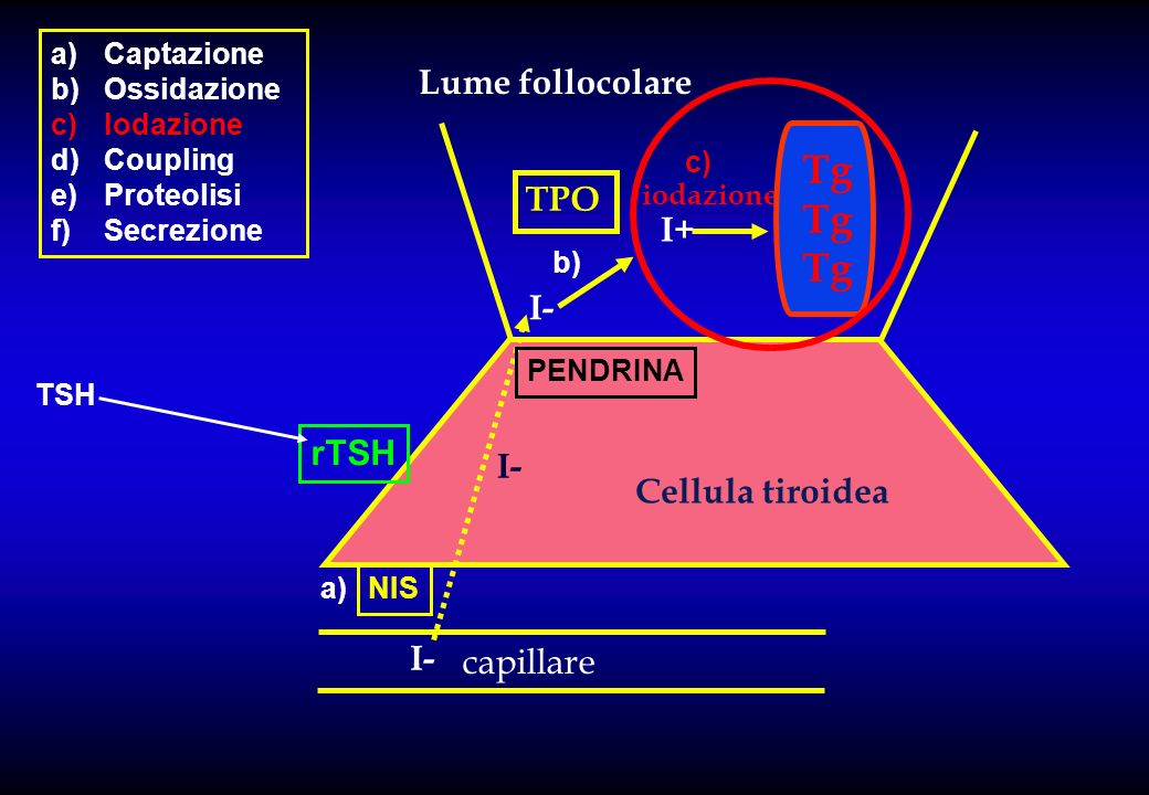 capillare Lume follocolare Cellula tiroidea I- I+ TPO iodazione Tg NIS PENDRINA a)Captazione b)Ossidazione c)Iodazione d)Coupling e)Proteolisi f)Secre