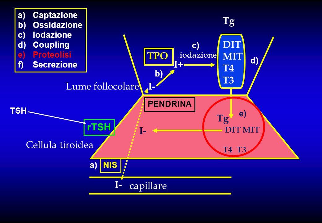 capillare Lume follocolare Cellula tiroidea I- I+ TPO iodazione Tg DIT MIT T4 T3 DIT MIT T4 T3 Tg NIS PENDRINA a)Captazione b)Ossidazione c)Iodazione