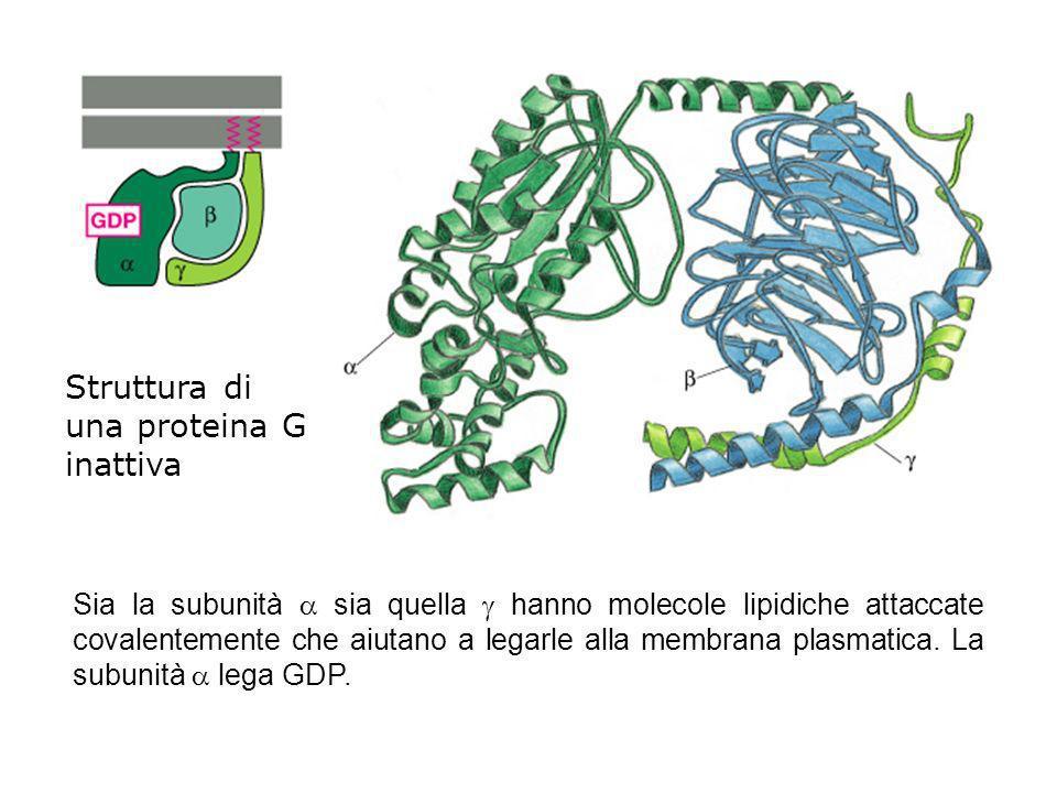 Struttura di una proteina G inattiva Sia la subunità sia quella hanno molecole lipidiche attaccate covalentemente che aiutano a legarle alla membrana