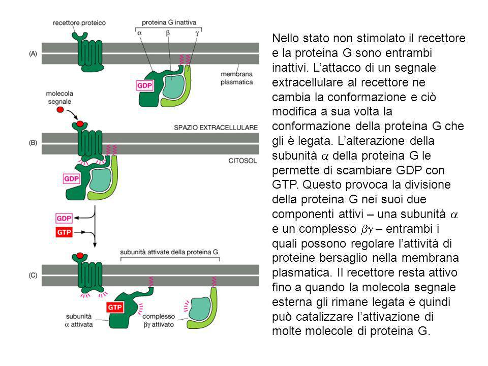Nello stato non stimolato il recettore e la proteina G sono entrambi inattivi. Lattacco di un segnale extracellulare al recettore ne cambia la conform